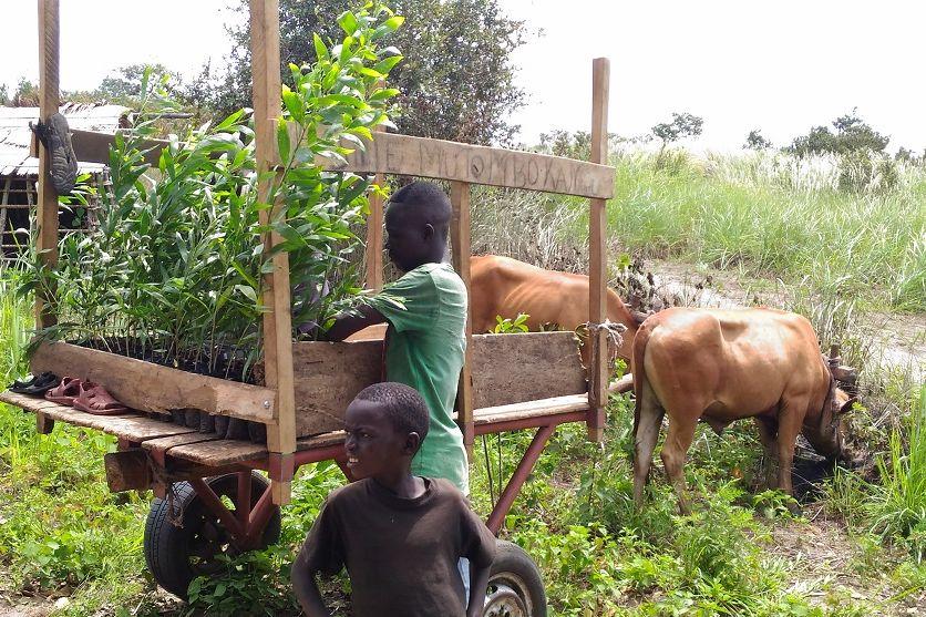 Transport d'acacias grâce au développement de la traction bovine